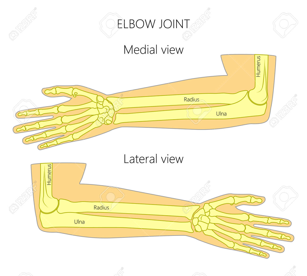 Vector Illustration Of A Human Elbow Joint Anatomy Medial And
