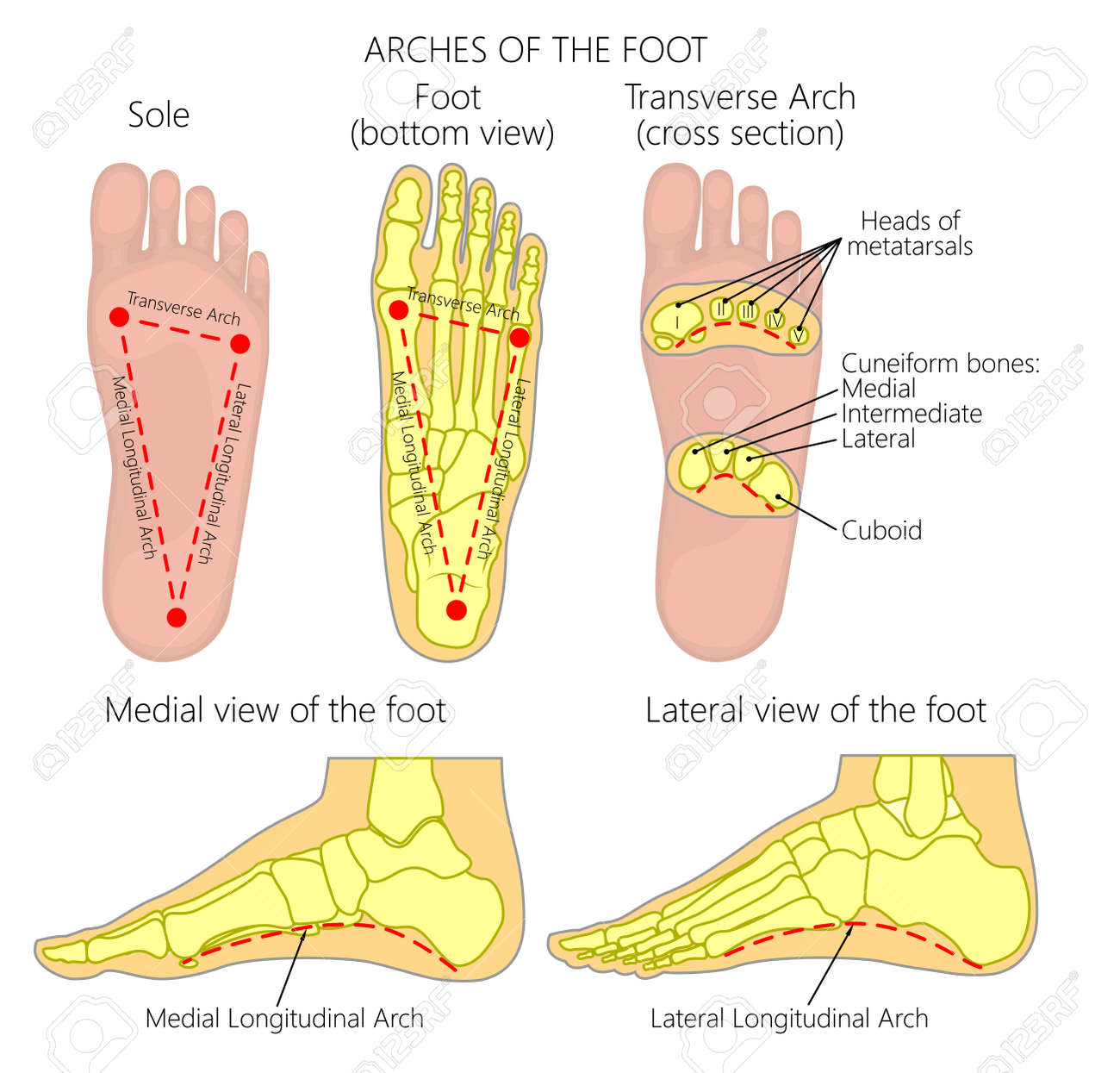 Foot Diagram on foot odor, foot index, foot and ankle, foot pain, foot structure, foot schematic, foot problems, foot regions, foot type chart, foot outline, foot assessment form, foot tendons, foot cartoon, arches of the foot, joints of foot, foot parts, anatomical terms of location, foot muscles, foot side view, foot map, foot bones, foot drawing, fifth toe, foot toes,