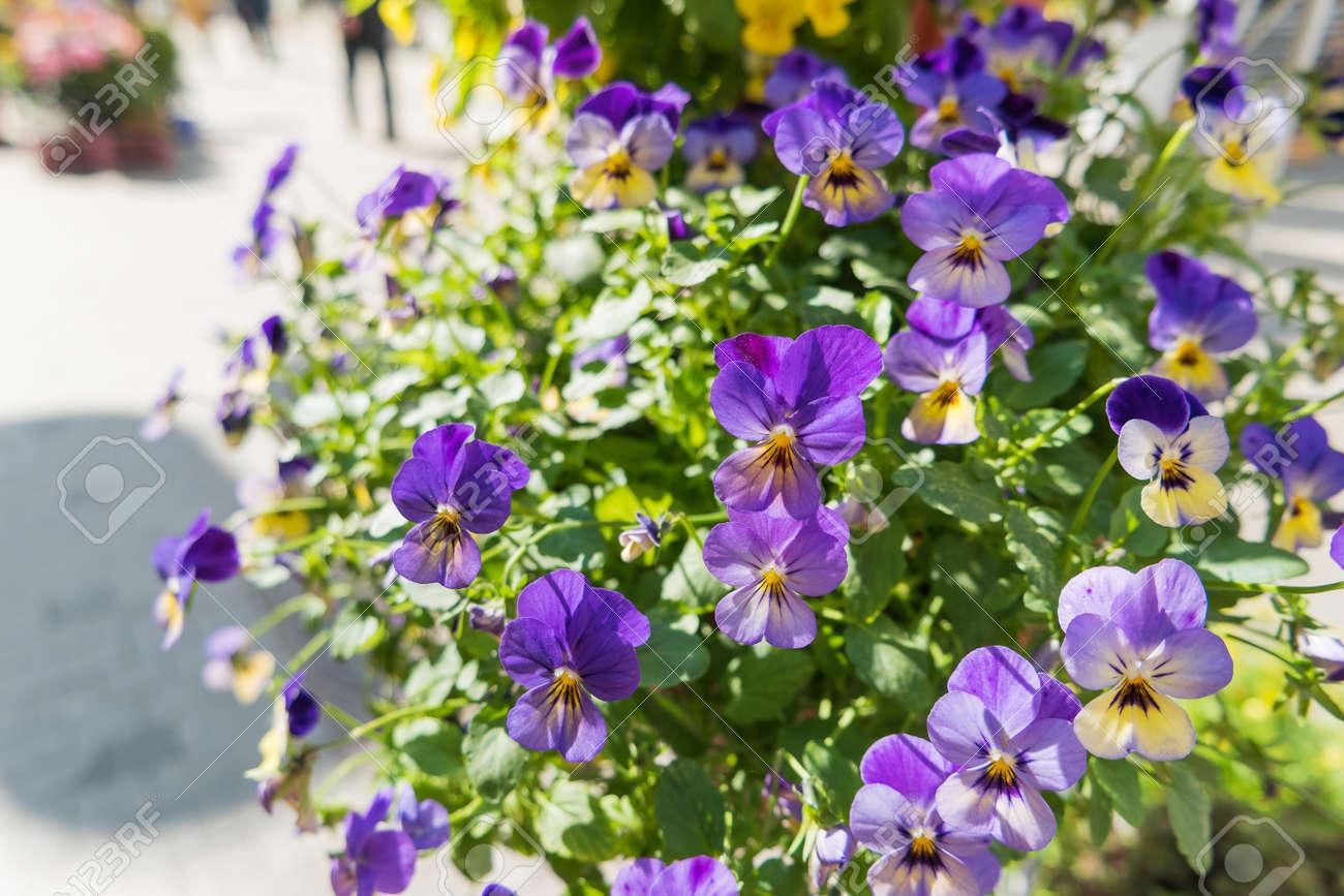 Topfpflanzen Garten Stiefmütterchen. Straße Dekoration Von Pflanzen Und  Bunten Blumen. Moskau, Russland.