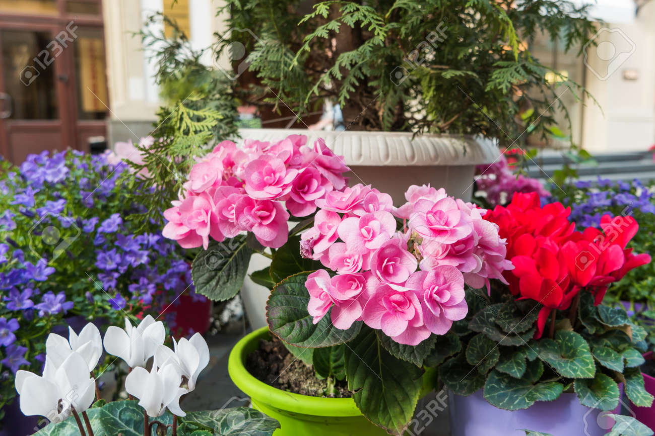 Potted flowers of pink azalea. Street decoration with plants and flower compositions. Moscow & Potted Flowers Of Pink Azalea. Street Decoration With Plants.. Stock ...