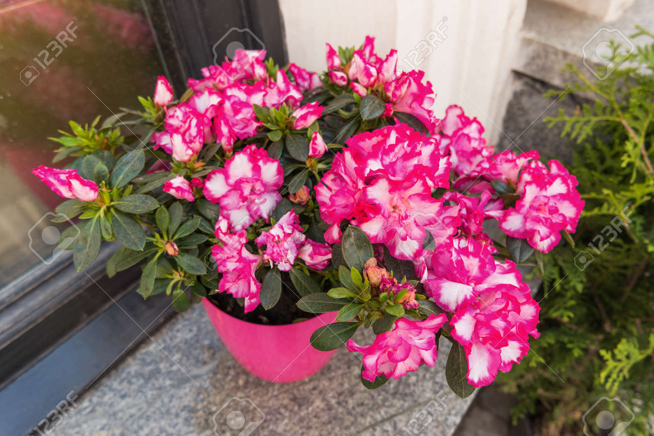 Potted Flowers Of Pink Azalea Street Decoration With Plants Stock