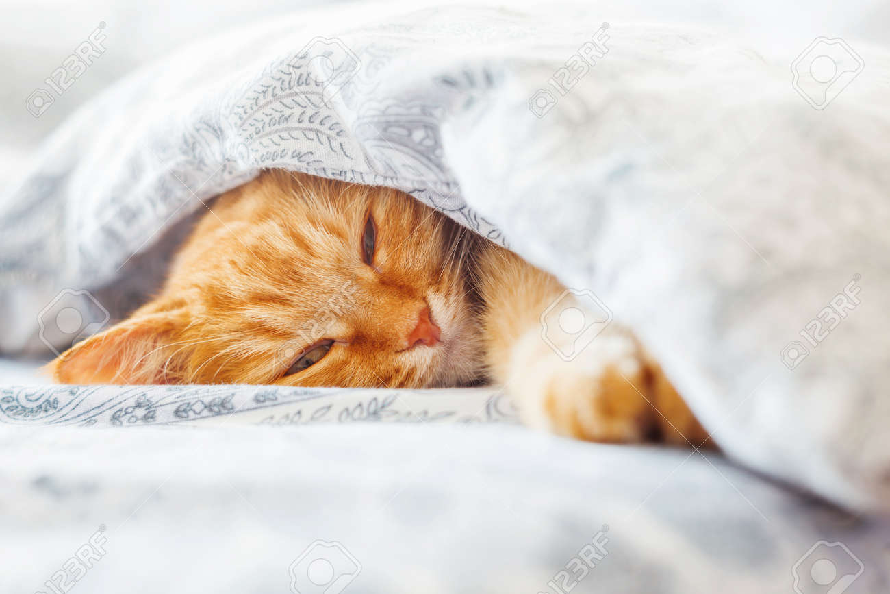 Cute ginger cat lying in bed under a blanket. Fluffy pet comfortably settled to sleep. Cozy home background with funny pet. - 57985748