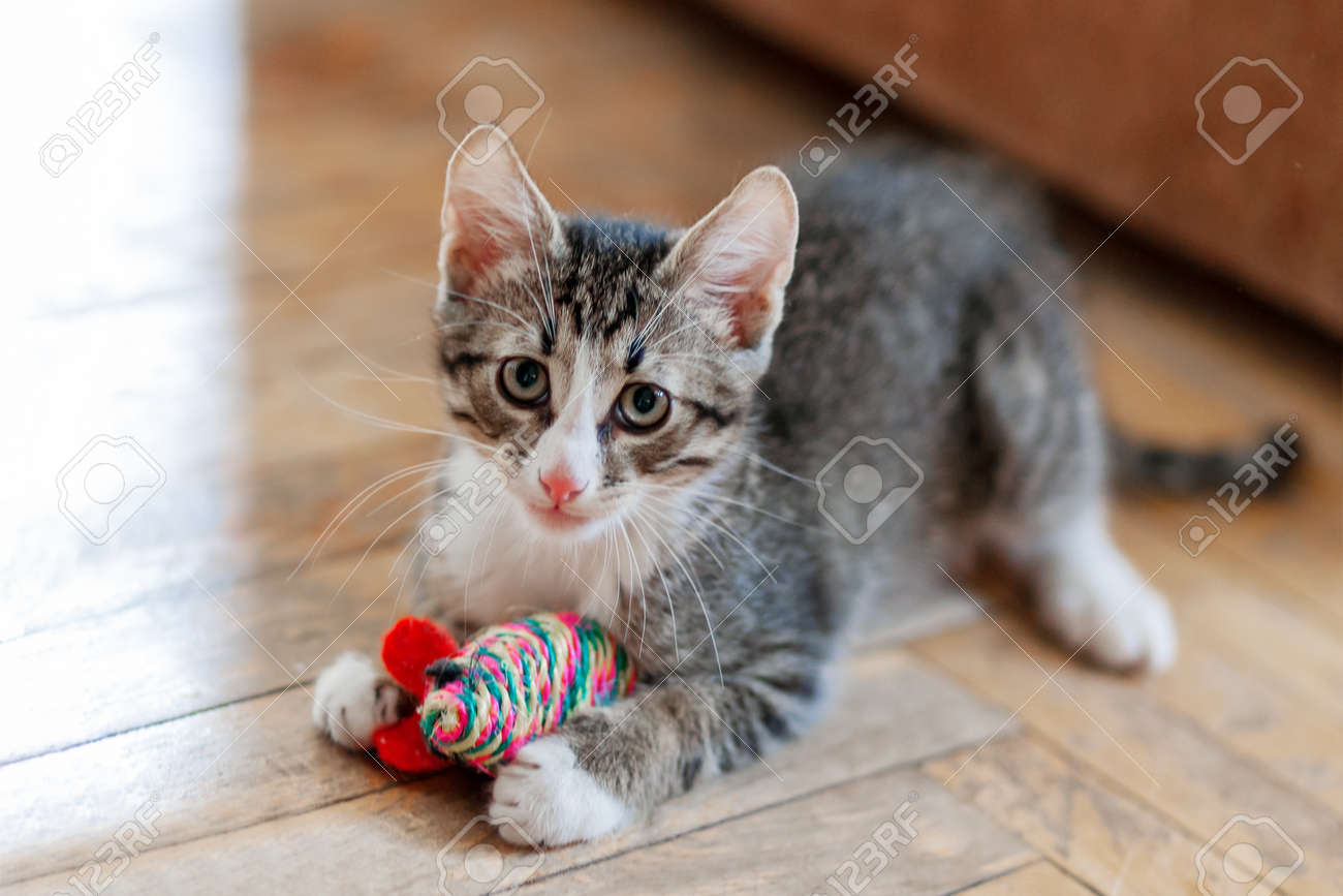 Cute gray kitten is playing with toy mouse. Funny pet on floor. - 116763851