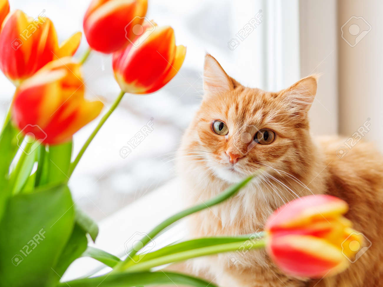 Cute ginger cat with bouquet of red tulips. Fluffy pet with colorful flowers. Cozy spring morning at home. - 118540327