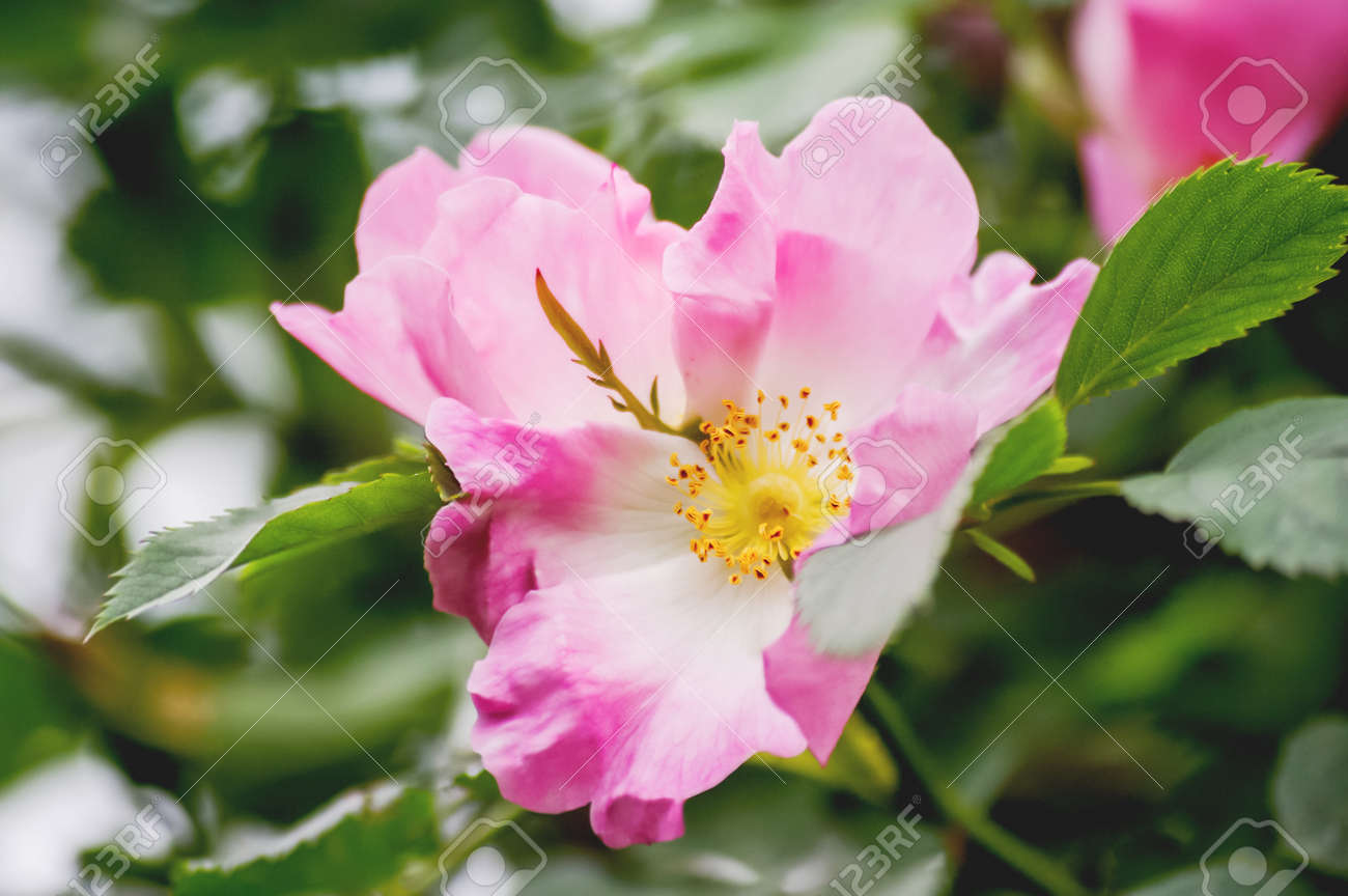 Blooming Flowers Of Pink Wild Rose Natural Summer Background