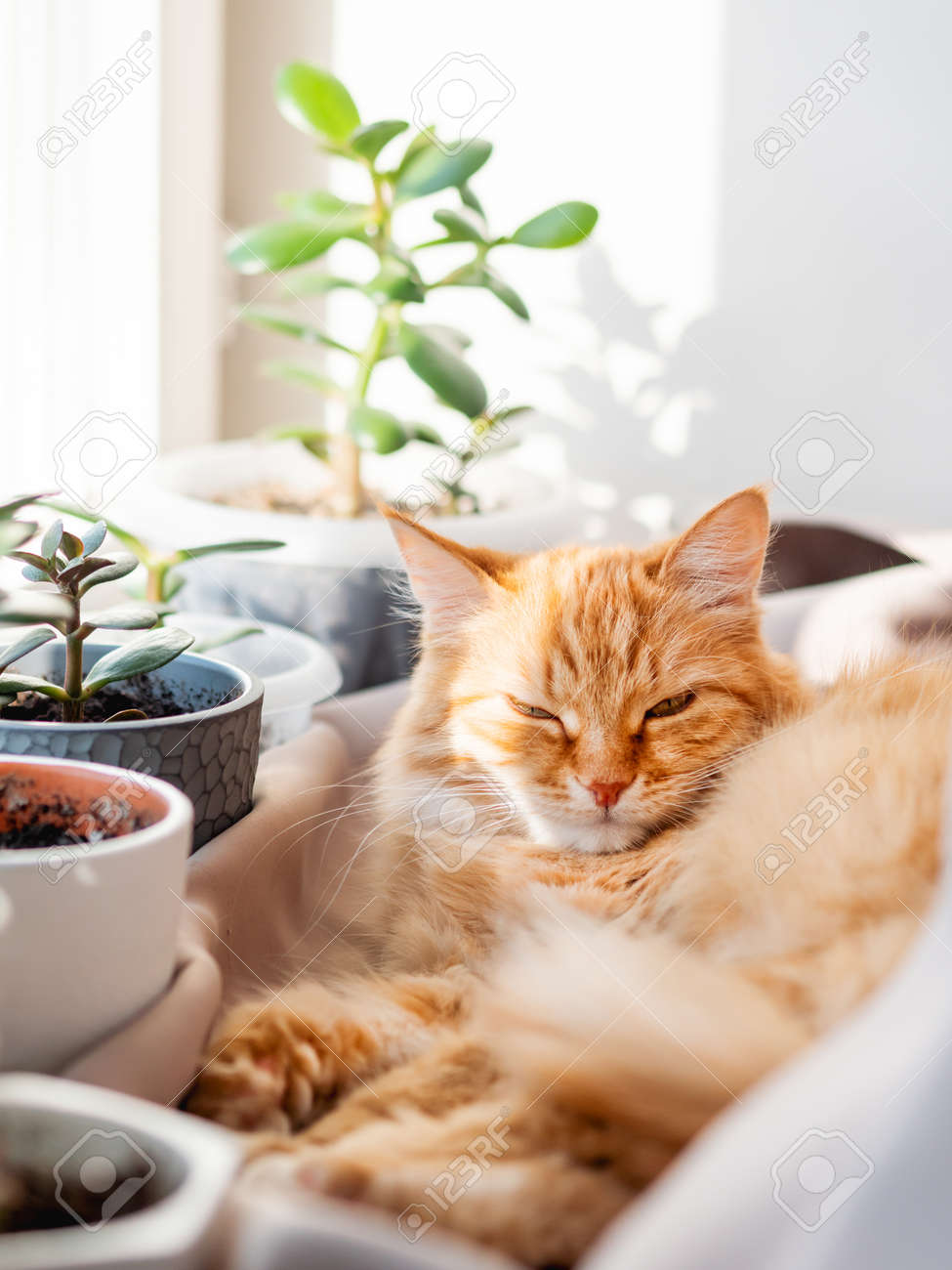 Cute ginger cat lying on window sill among flower pots with houseplants. Fluffy domestic animal near succulent Crassula plants. Cozy home lit with sunlight. - 172806638