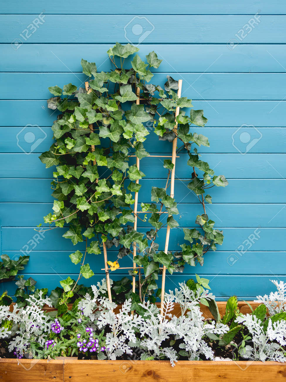 Wooden flower pot with ivy, cactuses and cineraria. Blue wooden wall of backyard with growing plants. Landscaping. - 172806641