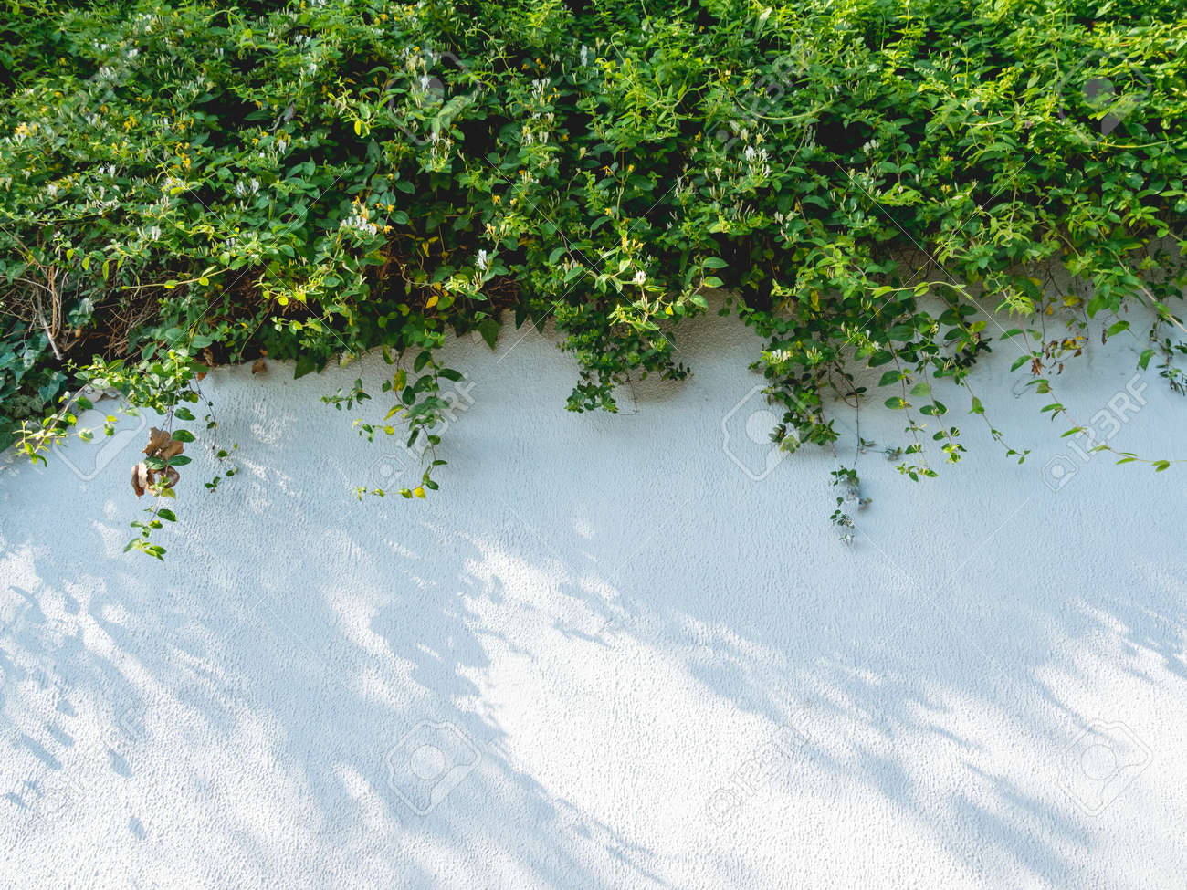 Lacy shadows from trees and bushes on white wall. Abstract background with concrete texture and green foliage of plants. - 172806618