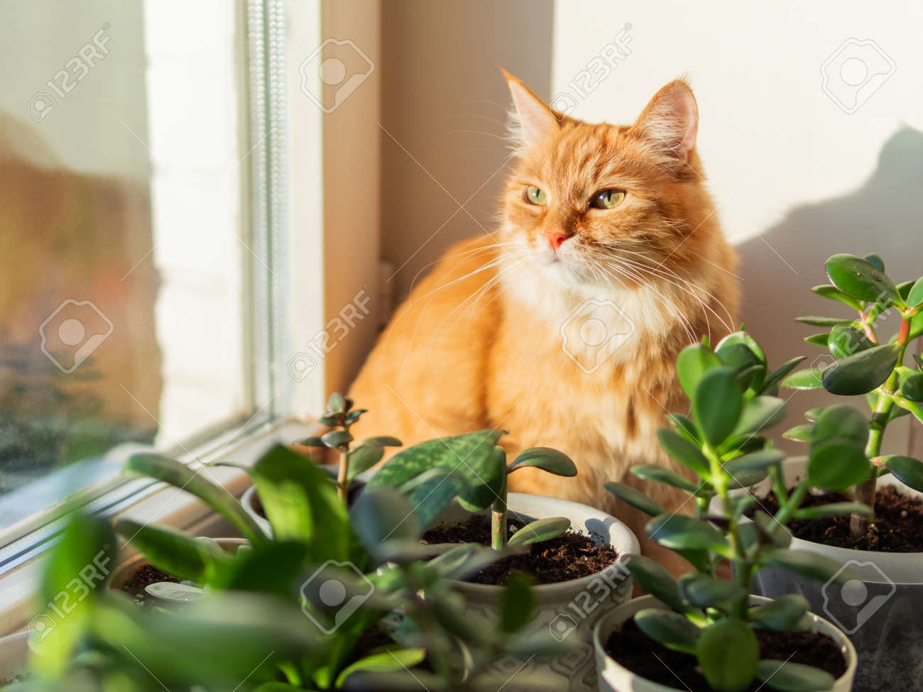 Cute ginger cat sits on window sill among flower pots with houseplants. Fluffy domestic animal near succulent Crassula plants. Cozy home lit with sunlight. - 172806588