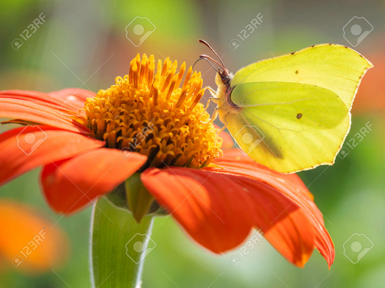 Gonepteryx cleopatra or Cleopatra butterfly collect pollen from red flower. Bright and colorful insect on blooming plant. Summer natural background. - 172455437