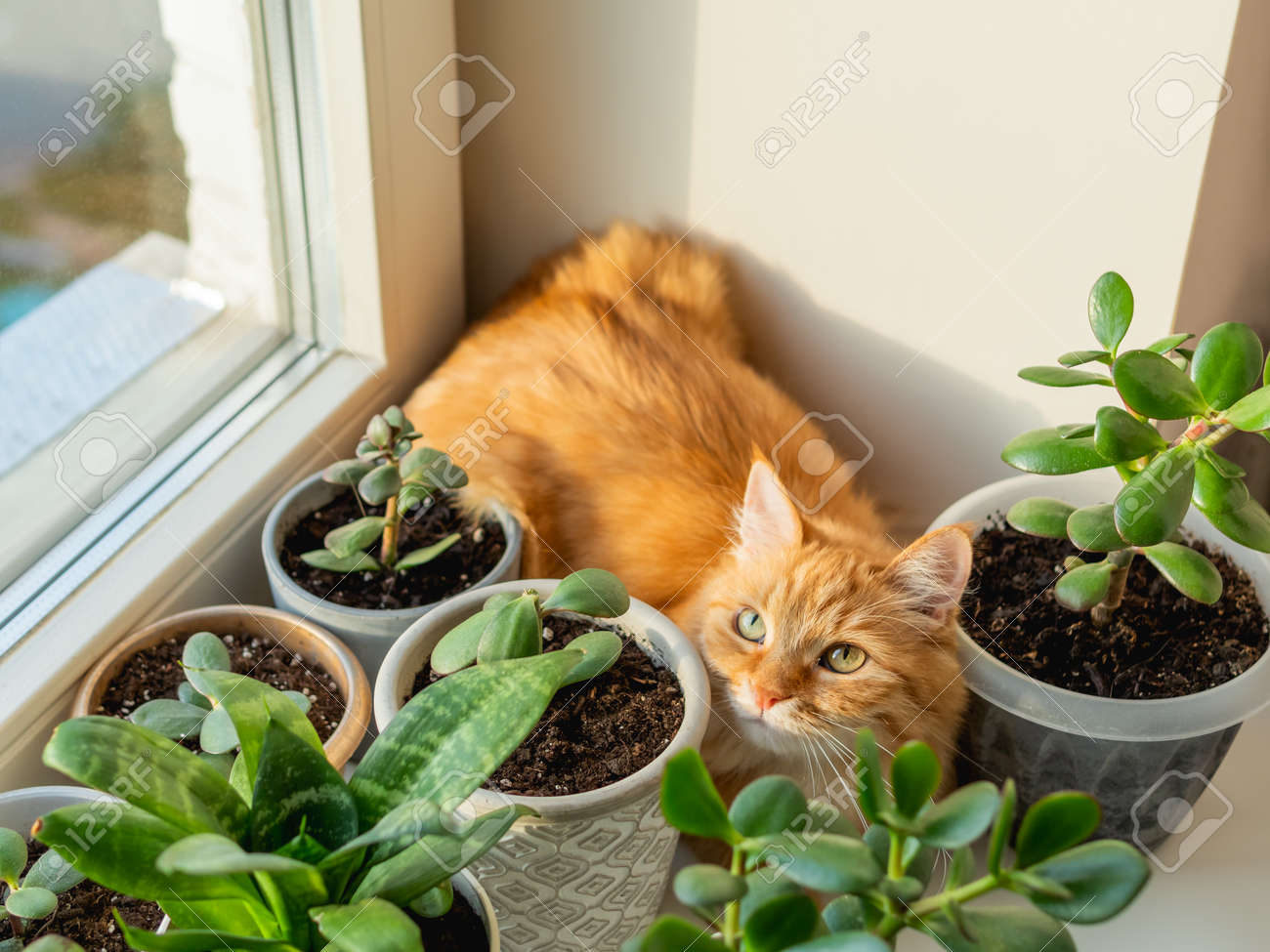 Cute ginger cat hiding on window sill among flower pots with houseplants. Fluffy domestic animal near succulent Crassula plants. Cozy home lit with sunlight. - 172806596
