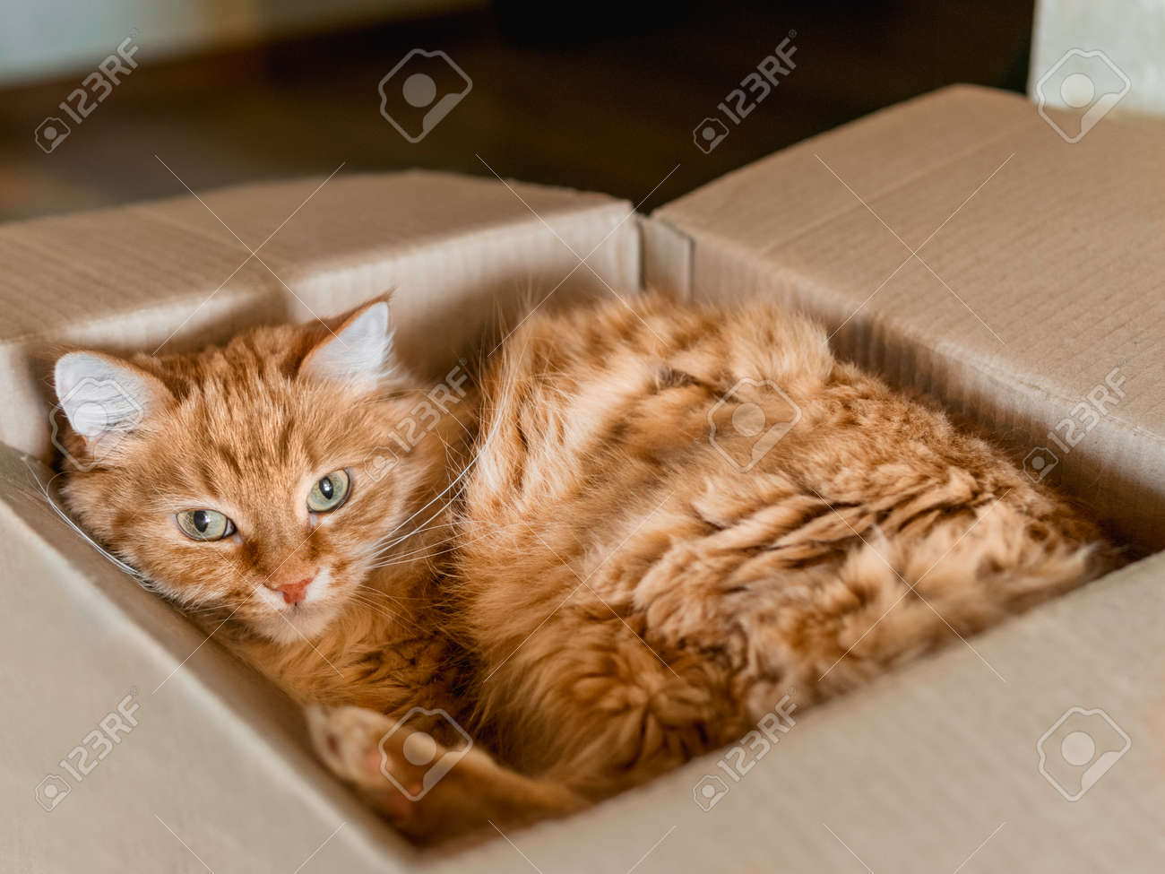 Cute ginger cat curled up in carton box. Fluffy pet is staring in camera. Little ball of fur sleeps anywhere. - 173429963