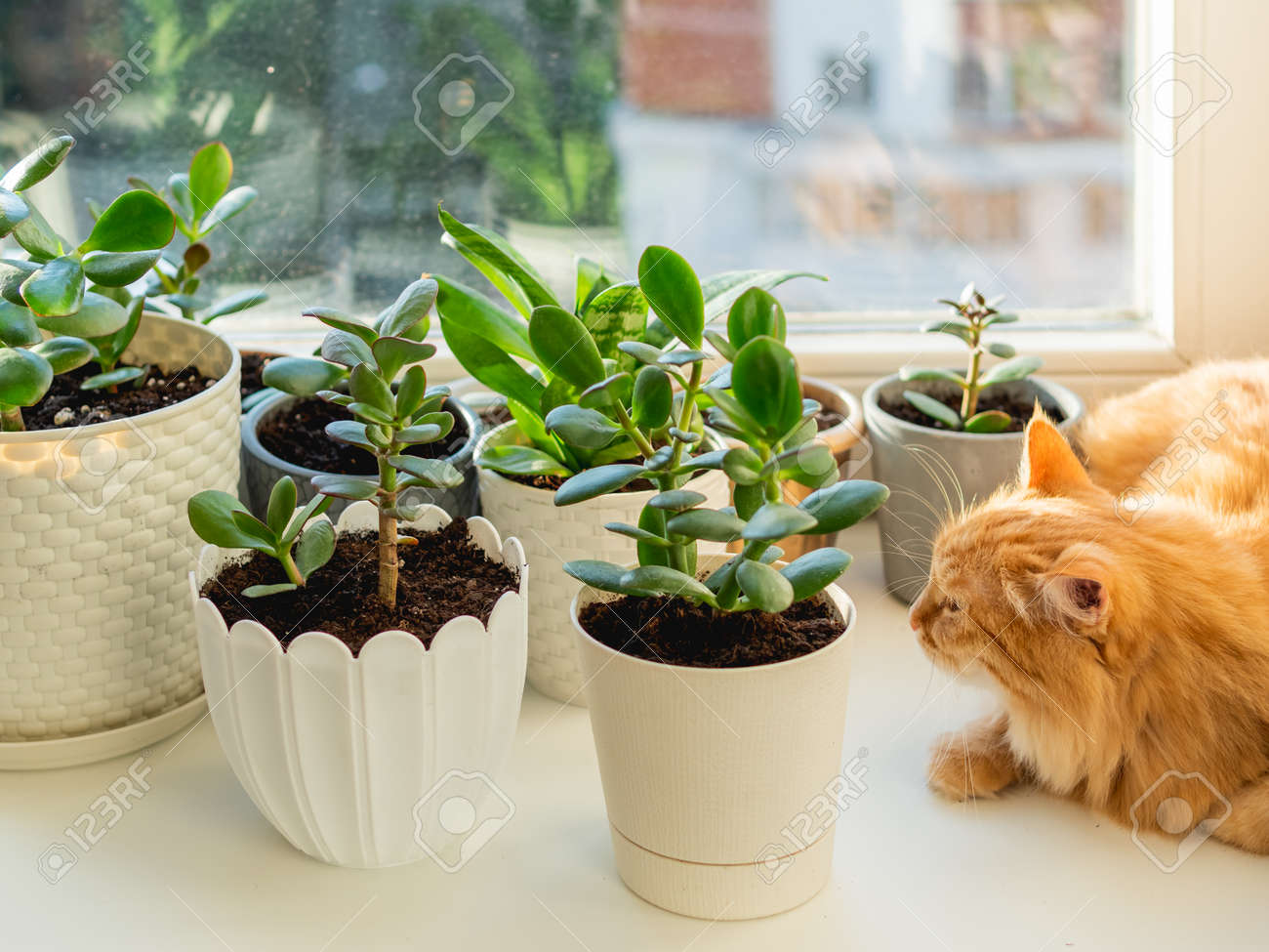 Cute ginger cat lying on window sill among flower pots with houseplants. Fluffy domestic animal near succulent Crassula plants. Cozy home lit with sunlight. - 173426494
