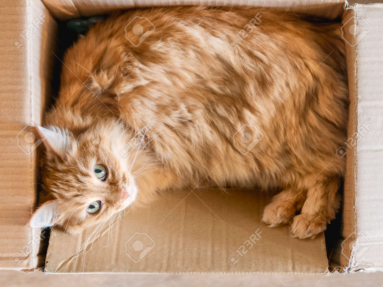 Cute ginger cat curled up in carton box. Fluffy pet is staring in camera. Little ball of fur sleeps anywhere. Top view. - 173429938