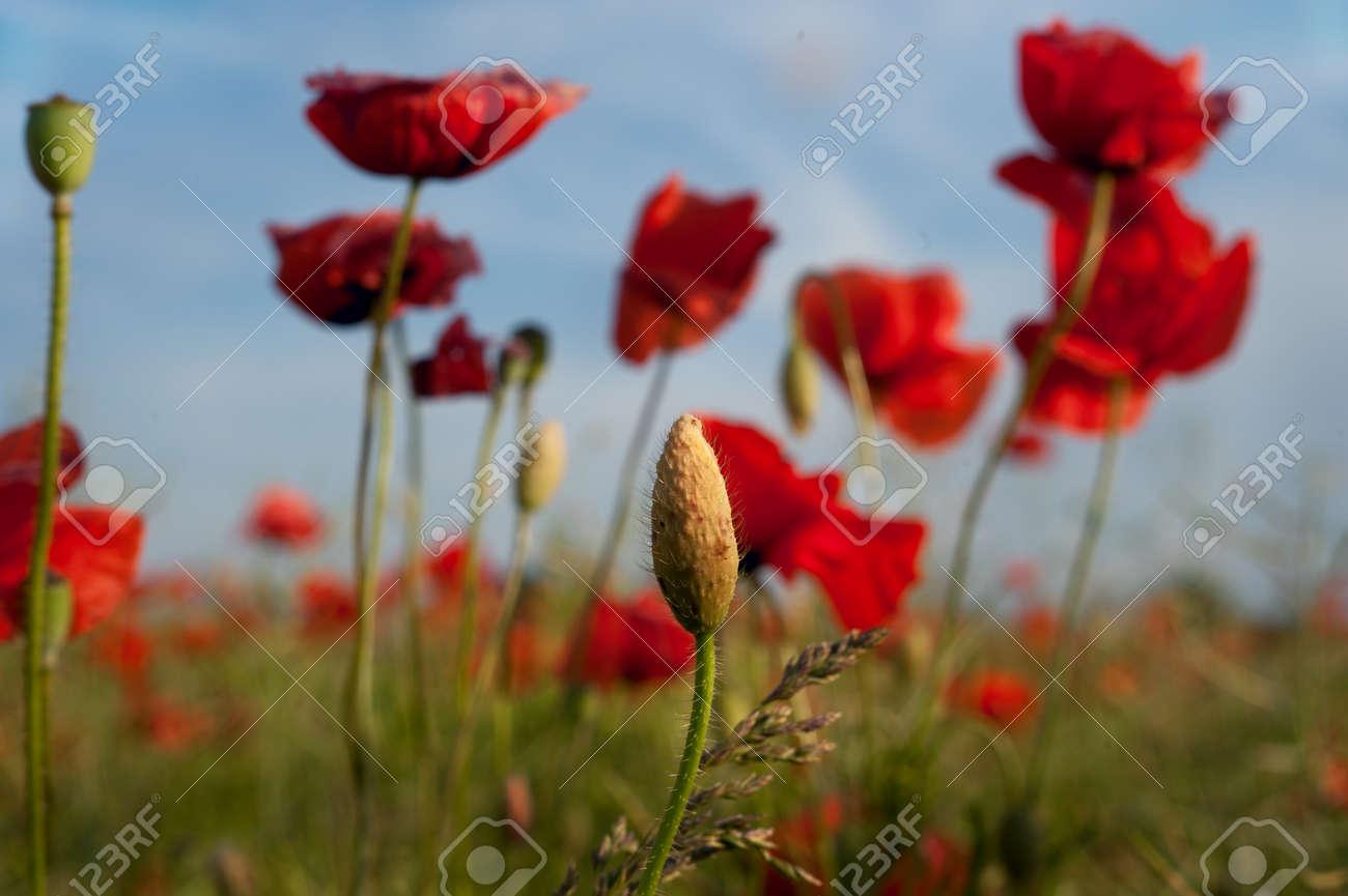 poppy bud Stock Photo - 12612471