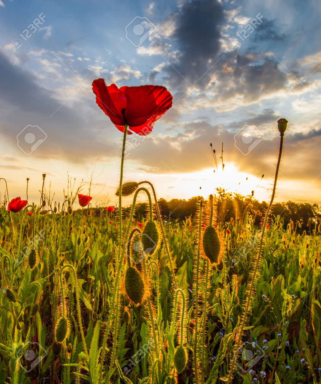 Poppy flower field at night royalty free stock photography image - Wild Poppies At Dawn With Sun Rising In The Background At A Meadow Stock Photo