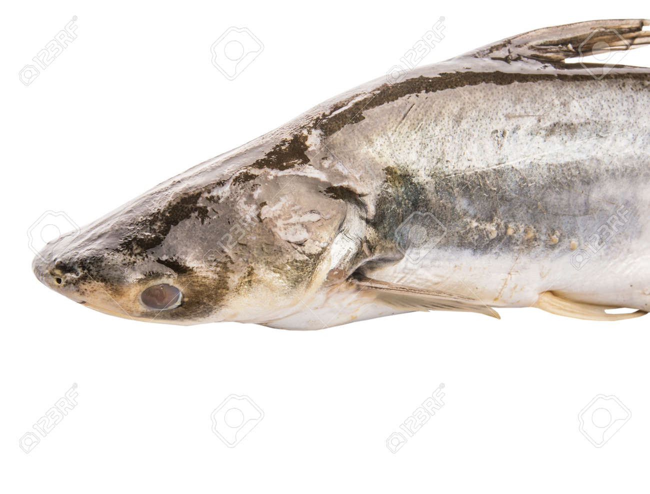Freshwater fish malaysia - Stock Photo Tropical Pangasius Sutchi Freshwater Fish Over White Background