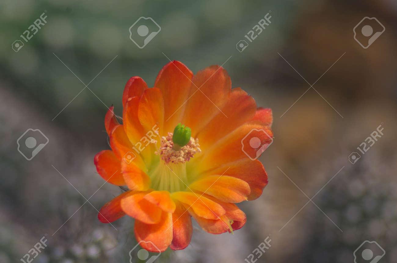 oranov cactus bloom - 40677744