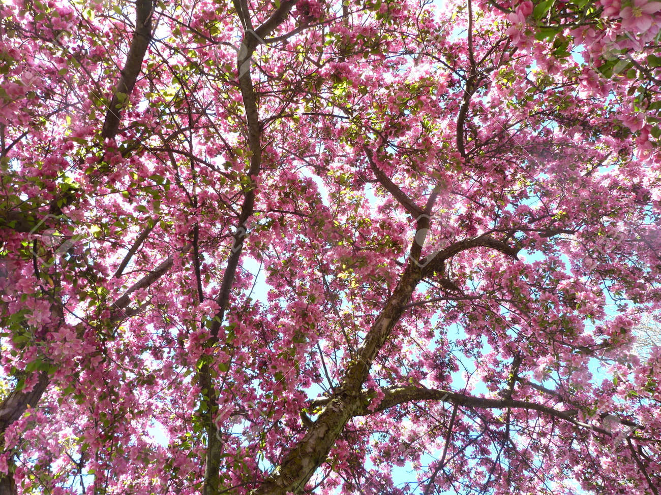 Season Specific Spring Blooming Crab Apple Tree Branches