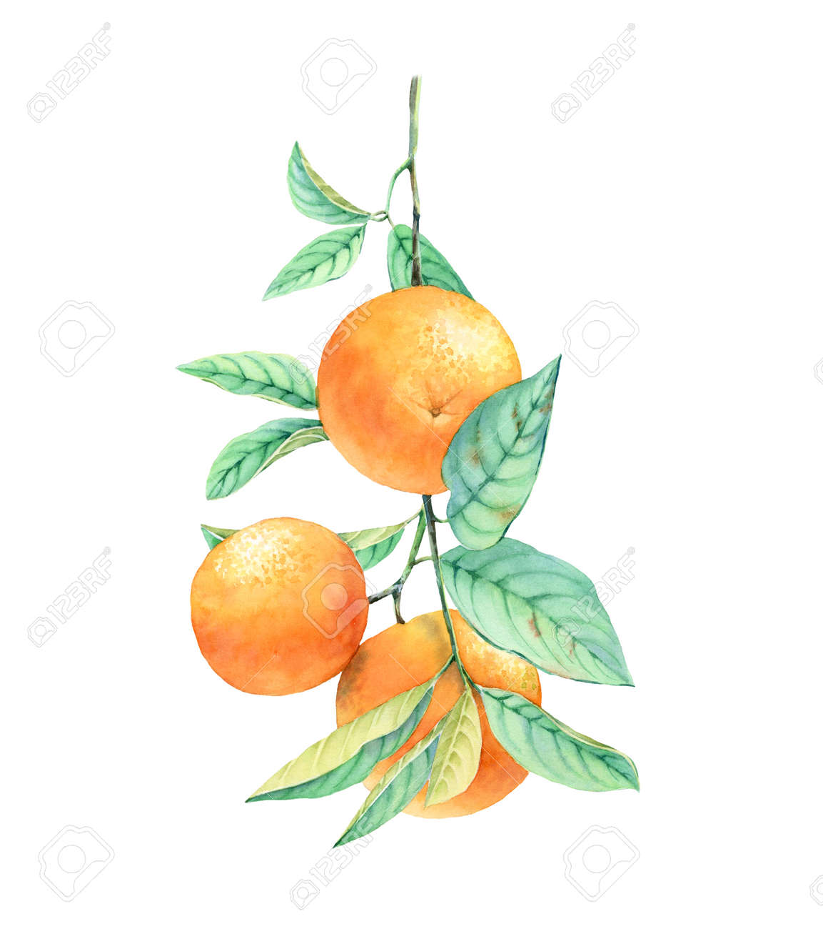 Watercolor Orange Fruit Tree Branch Realistic Botanical Illustration Stock Photo Picture And Royalty Free Image Image 141197258