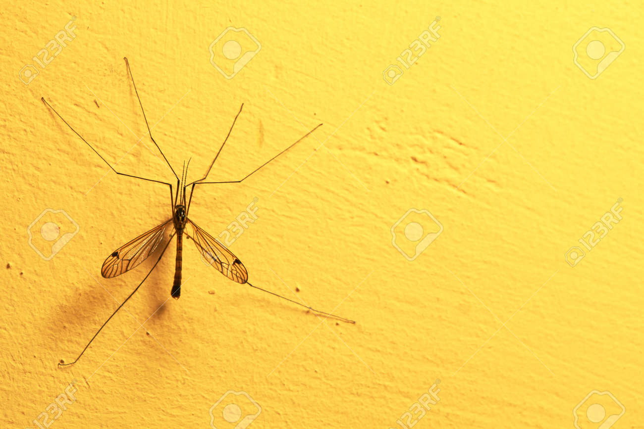 A mosquito sitting on yellow wall indoor. Extreme close-up. Stock Photo - 21868965