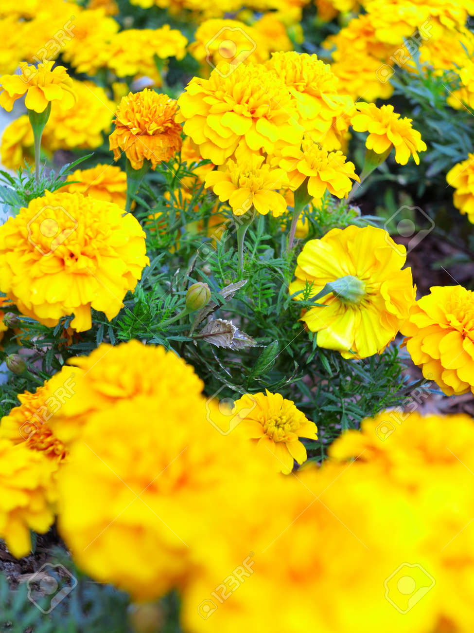 Yellow Aster Flowers In The Garden As Background Stock Photo