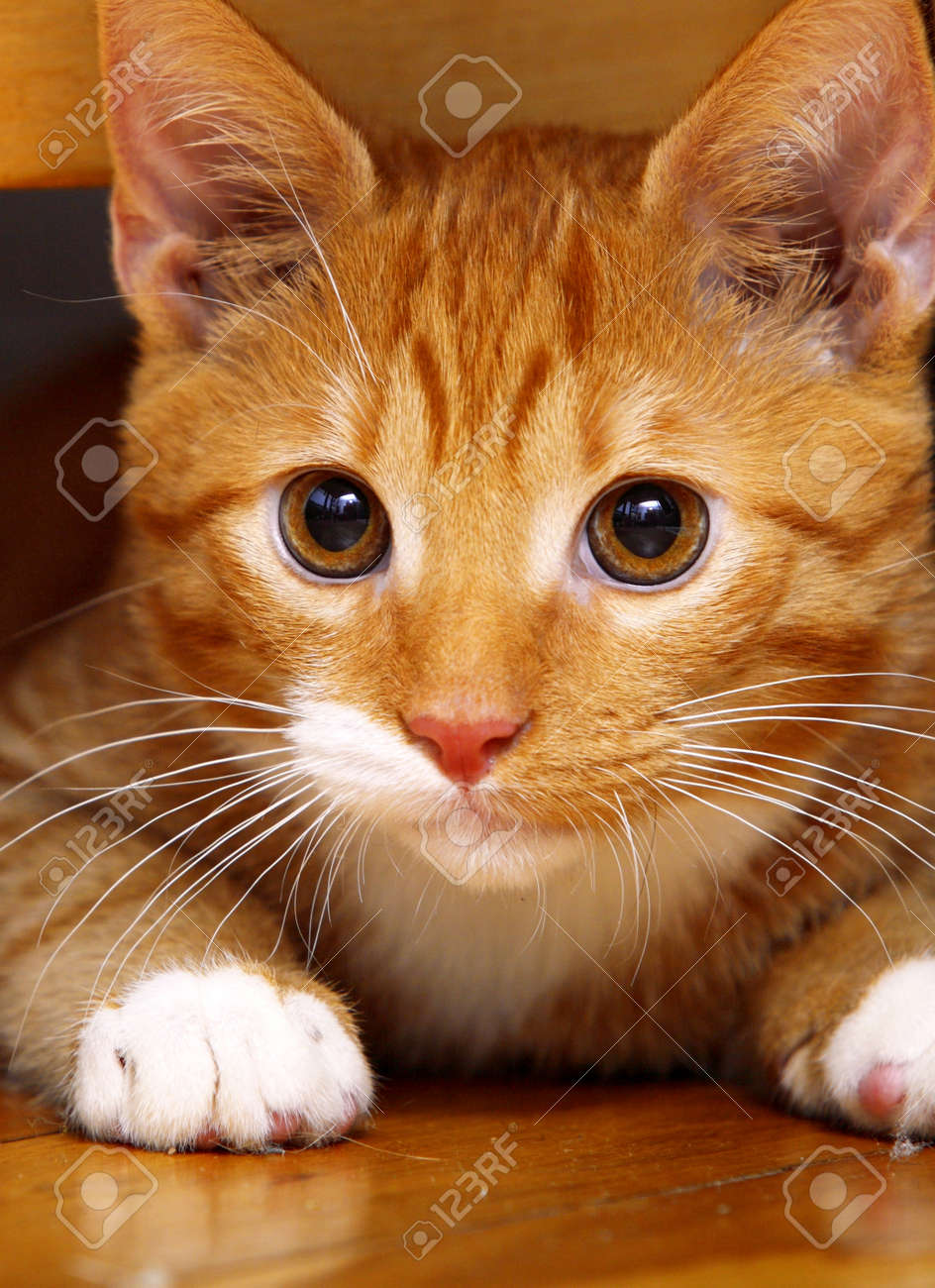animals at home. close up red cute little baby cat pet kitten