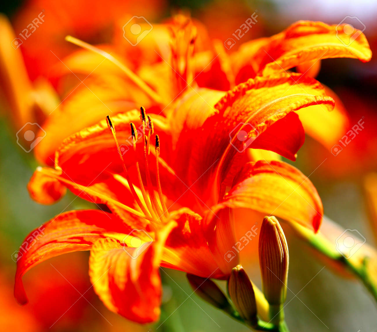 Orange Lily Flowers Lilies In Garden Outdoor Stock Photo Picture