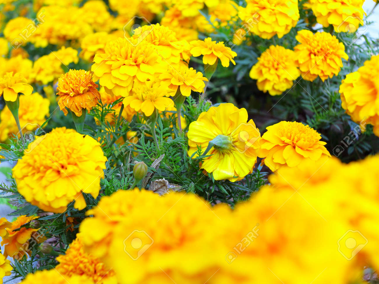 Yellow Aster Flowers In The Garden As Background Marigold Stock