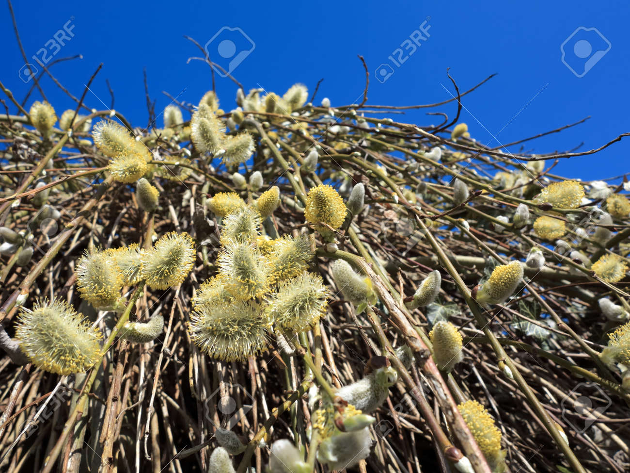 pussy willow tree branches with catkins against blue sky stock photo - Pussy Willow Tree