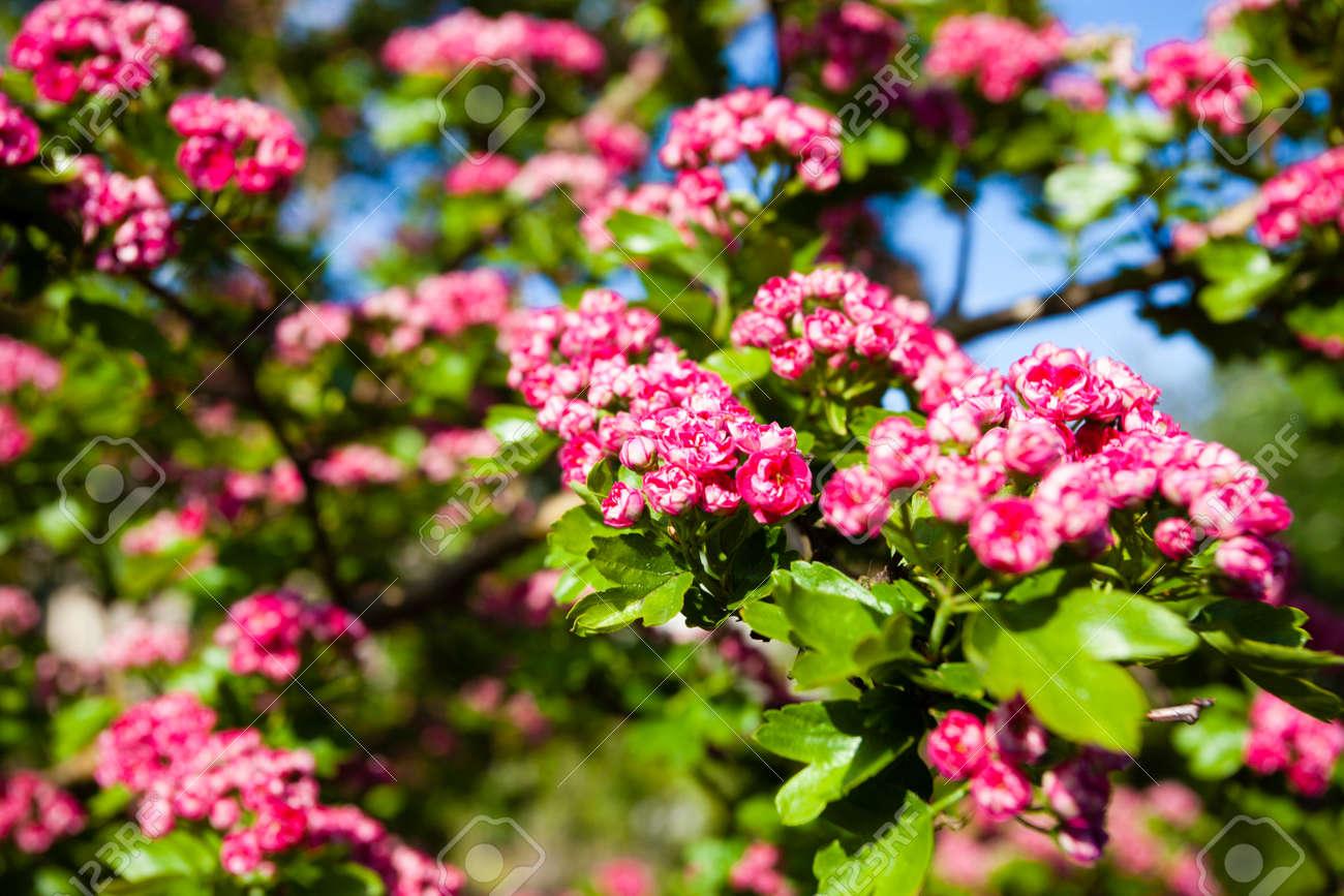 Hawthorn Tree Flowers Flowers of Hawthorn Tree