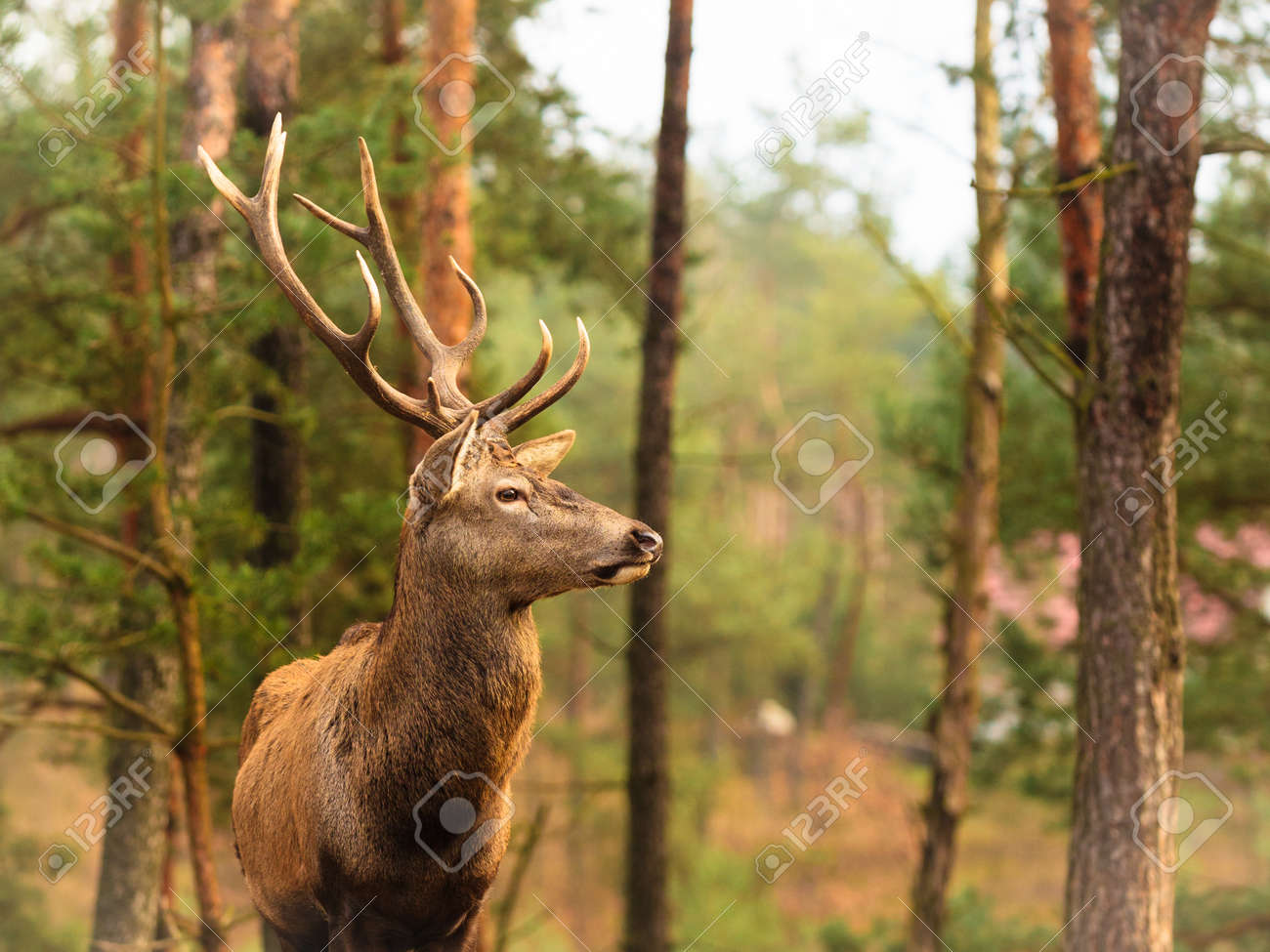 Majestic powerful adult male red deer stag in autumn fall forest. Animals in natural environment, beauty in nature. Stock Photo - 39937689