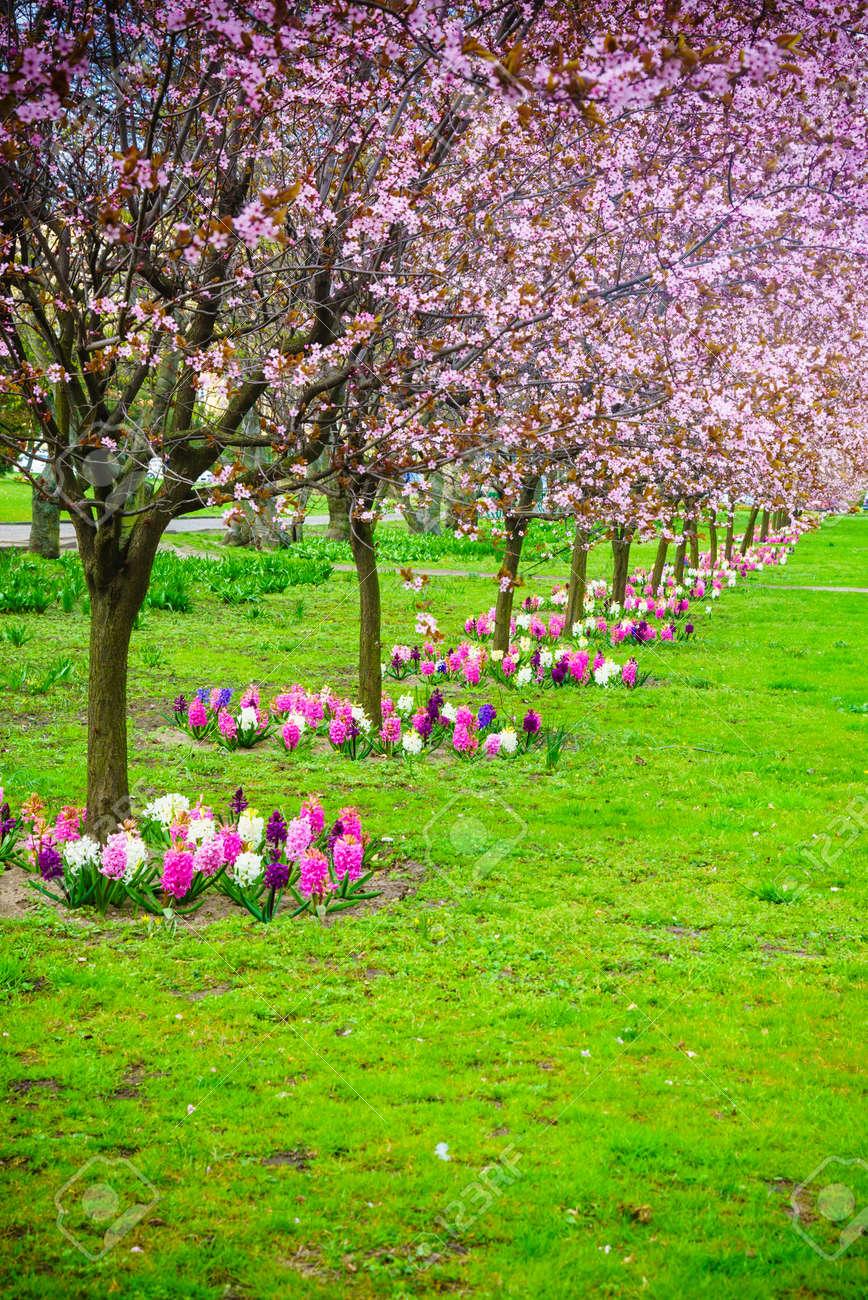 Cerisiers roses dans une ruelle de la ligne. Jardin fleurs de printemps.  L\'herbe verte. scène de la nature.