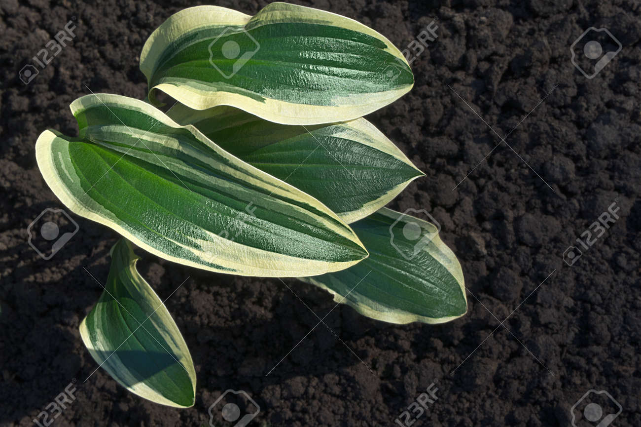 Leaves Of Hosta Sunlit Are On The Background Of The Brown Ground