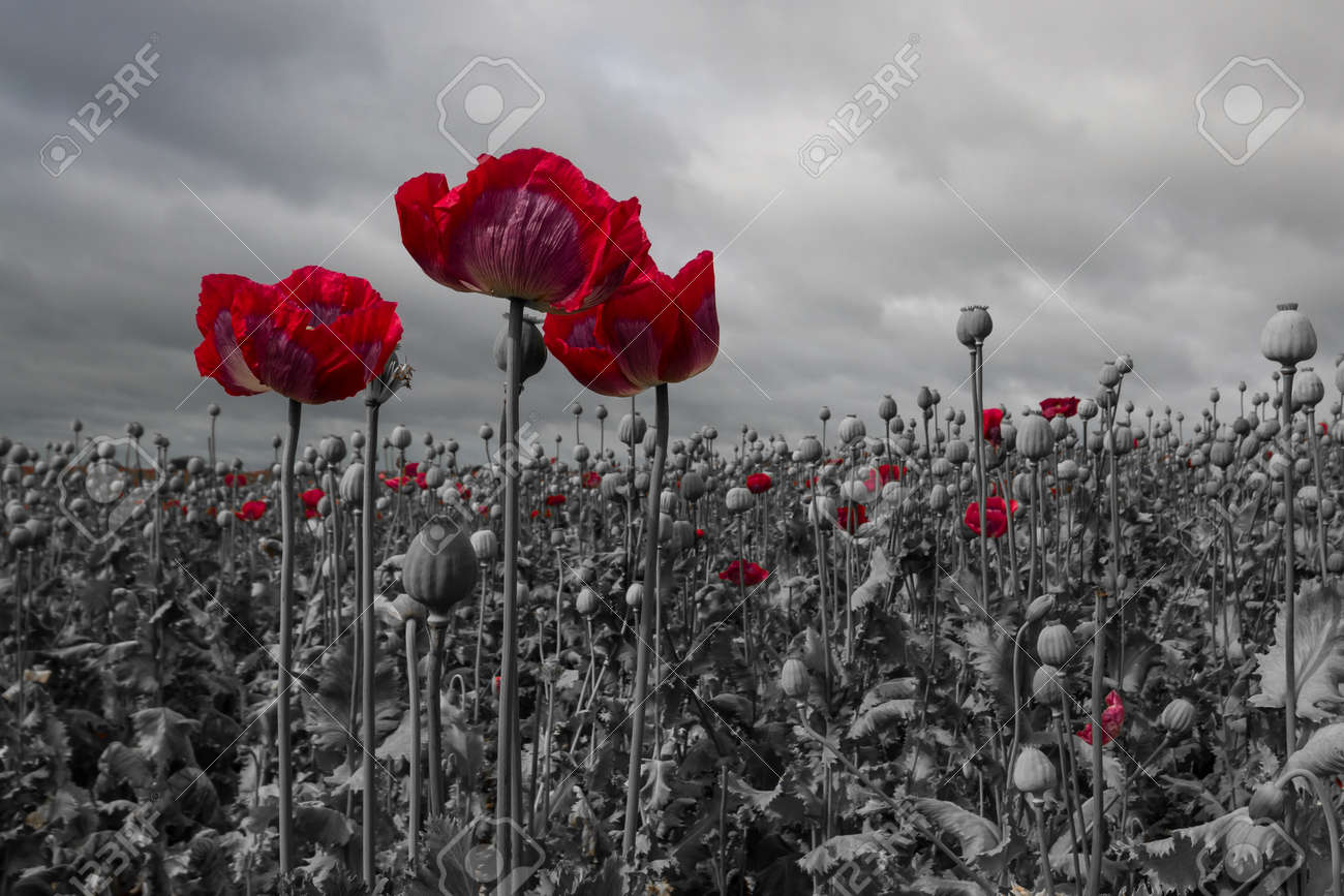 Opium poppy field black and white with a red colour pop on the