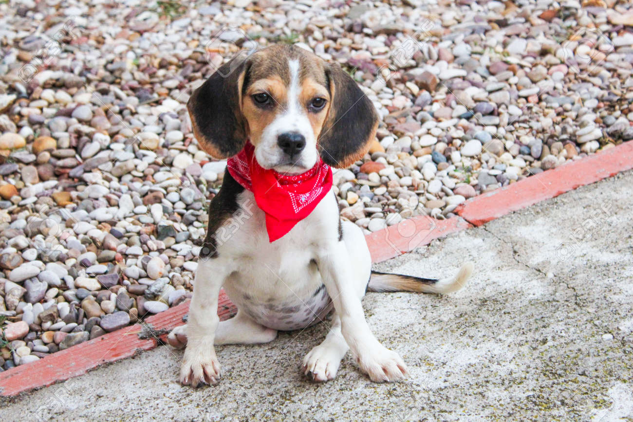 Beagle Puppy Dog With A Red Handkerchief Around The Neck In A Stock Photo Picture And Royalty Free Image Image 92429900