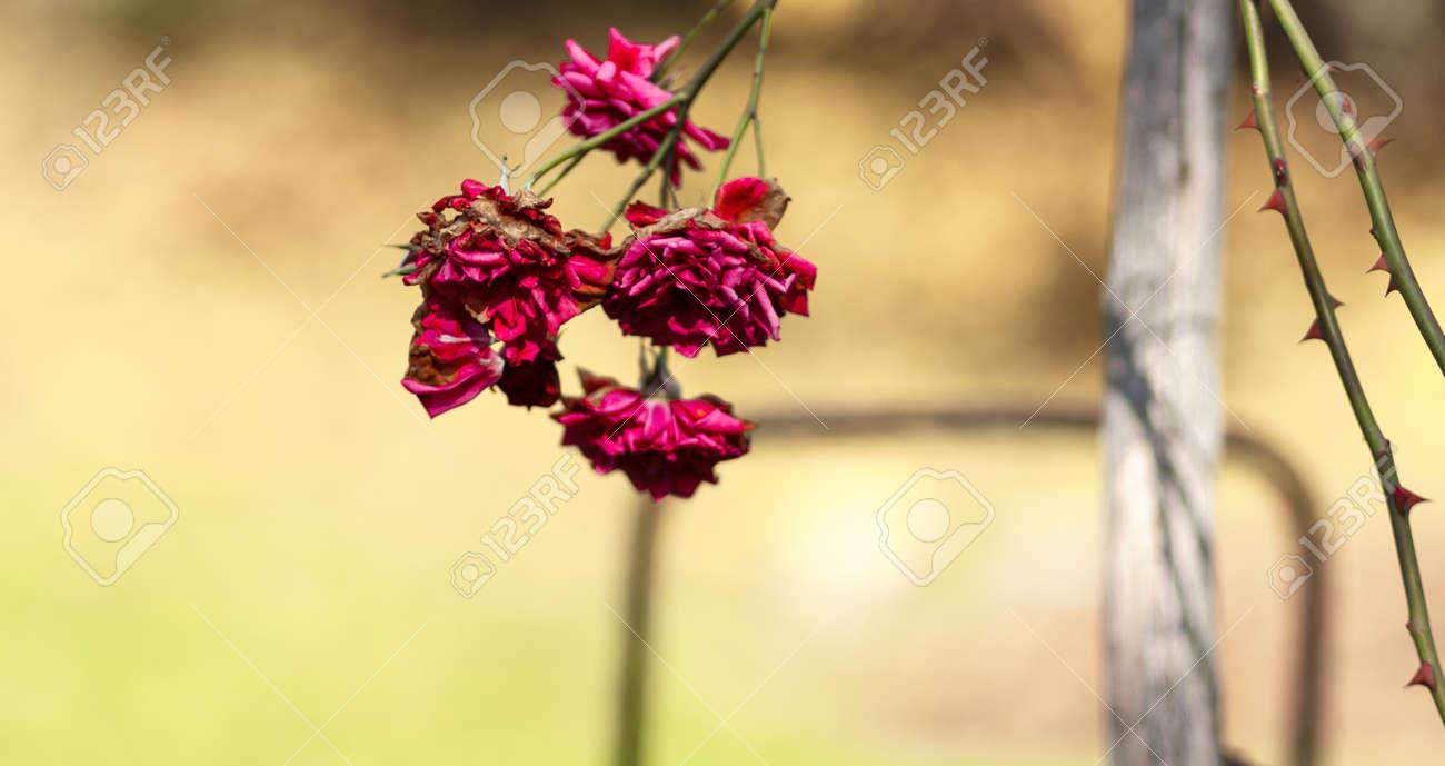 Viola Rosso Magenta Di Colore Rosa Secca Su Uno Sfondo Blurried Foto