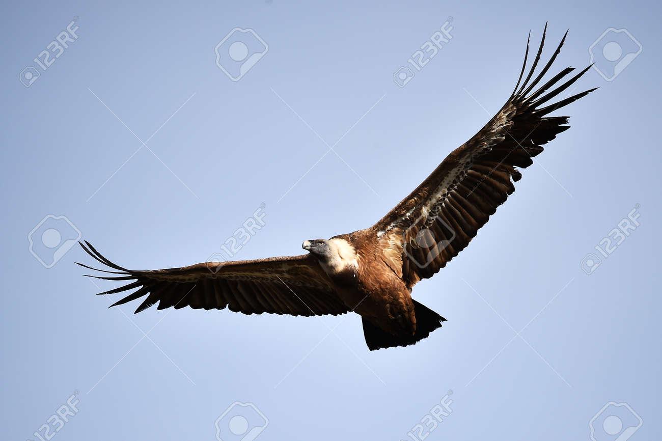 vulture griffon on a natural park - 142687061