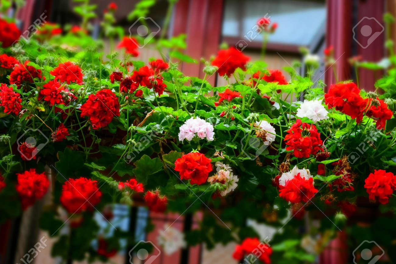 Rote Und Weisse Blumen Auf Einem Balkon Lizenzfreie Fotos Bilder Und