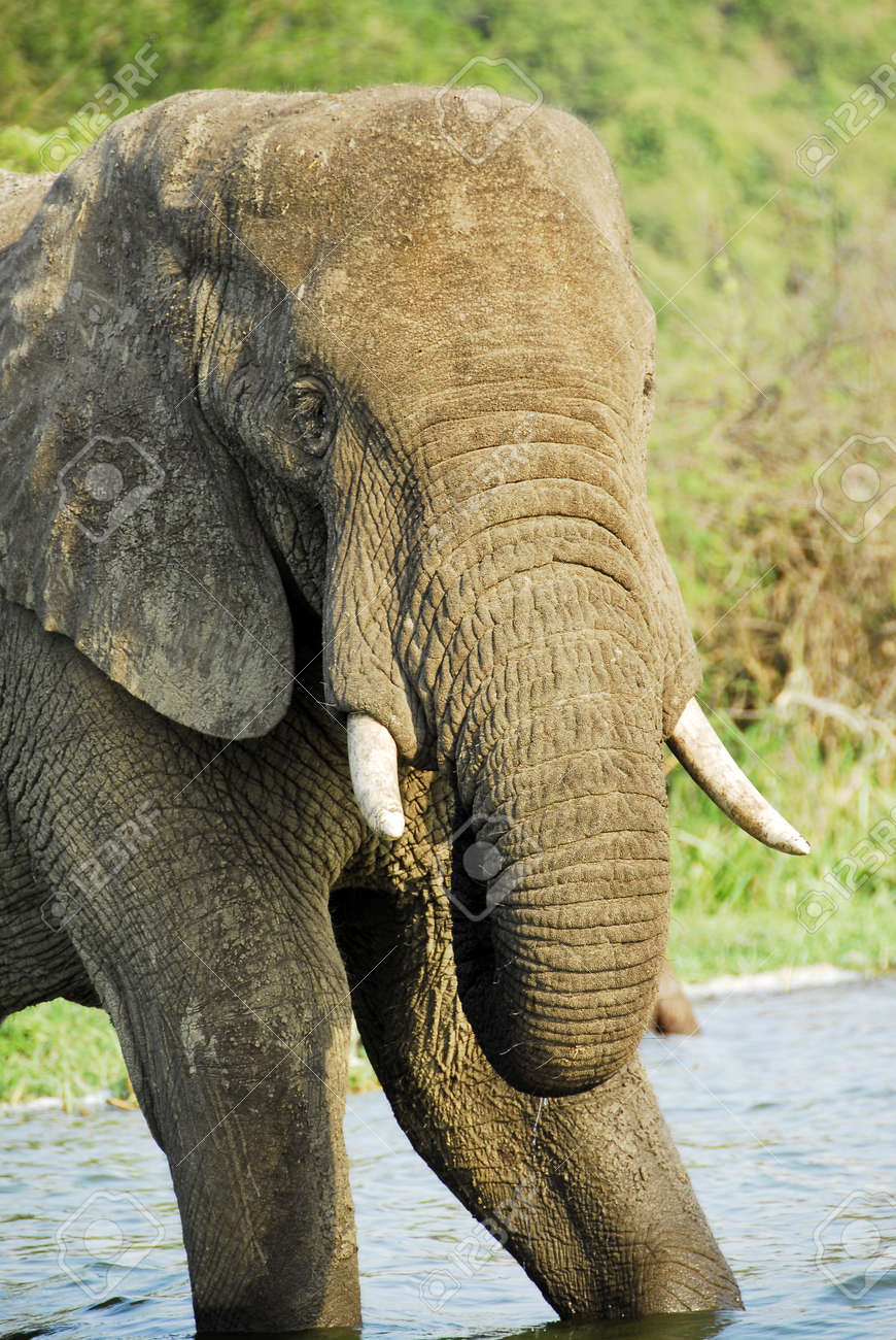 Male African elephant, Kazinga Channel (Uganda) Stock Photo - 11931183