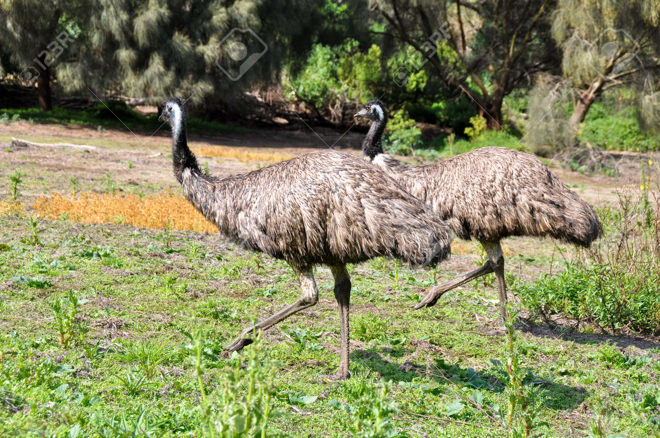australian emus at tower hill wildlife reserve stock photo picture