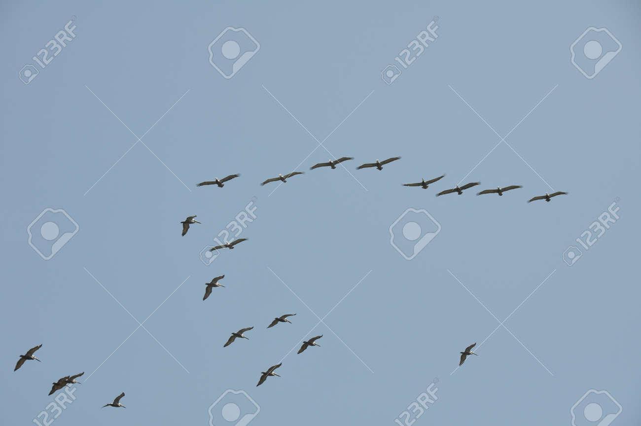 Pelicans in Flight at Malibu Beach, California Stock Photo - 17389289