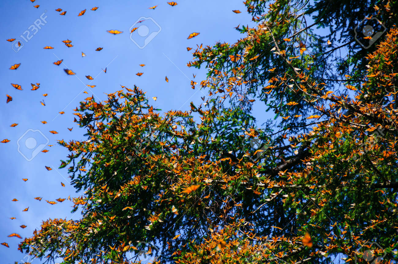 Monarch Butterfly Biosphere Reserve, Michoacan,Mexico - 48709635