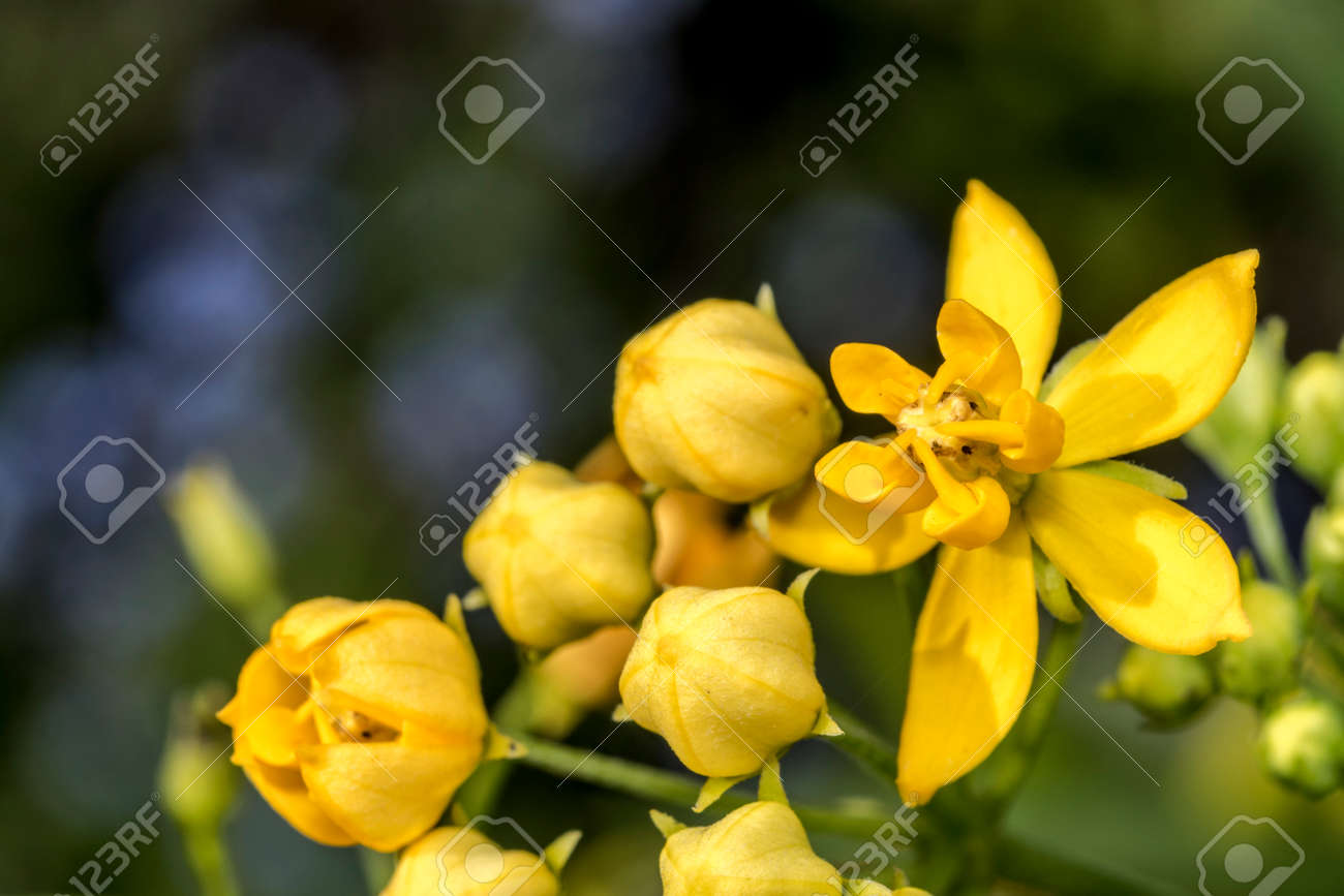 Yellow Bell Flowers In A Garden Stock Photo Picture And Royalty