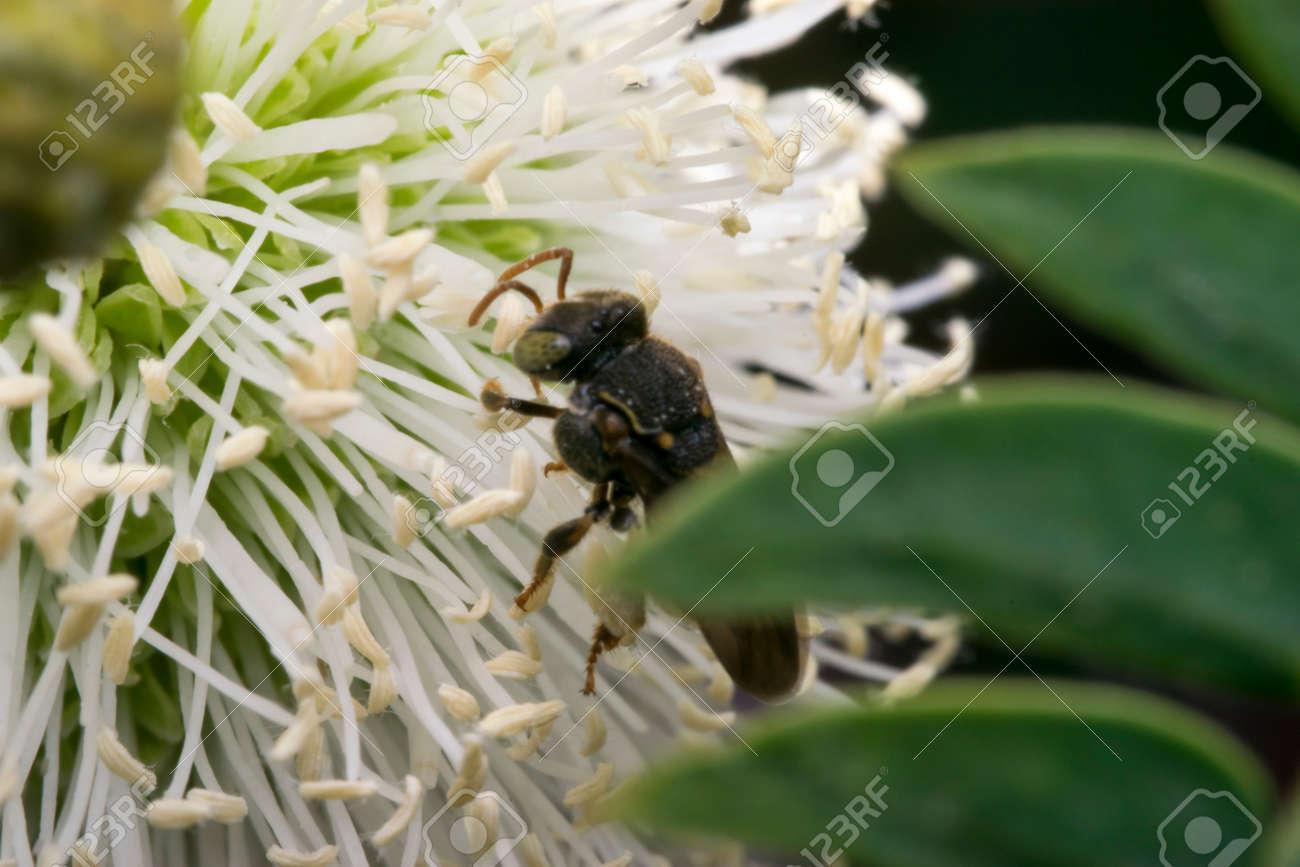 Kleine Schwarze Wespe Auf Einigen Weißen Blumen Lizenzfreie Fotos