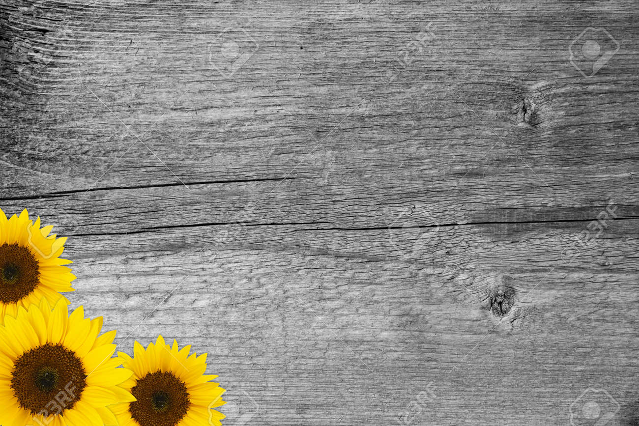 Three Yellow Sunflower Blossoms On Wooden Background Stock Photo