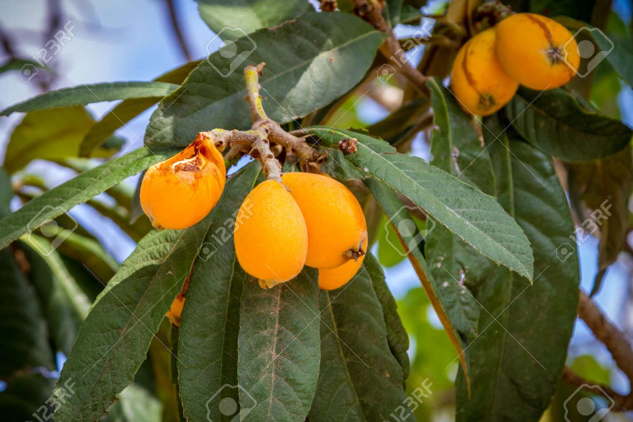 Piante Da Frutto Sempreverdi il japonica nespolo o eriobotrya è una pianta sempreverde con frutti  gialli, e 'noto anche come prugna giapponese e prugna cinese
