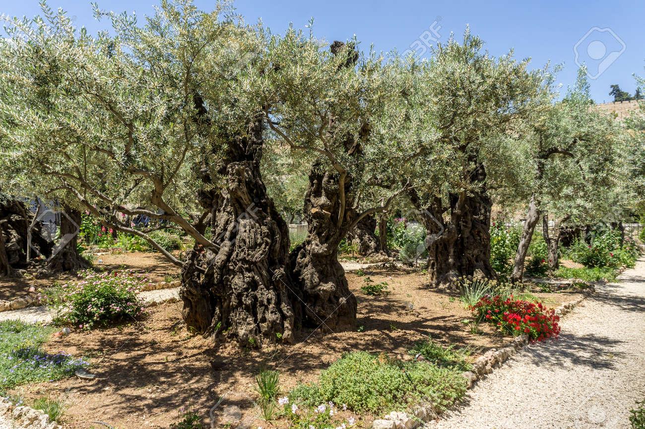 The Garden Of Gethsemane On The Mount Of Olives In Jerusalem ...