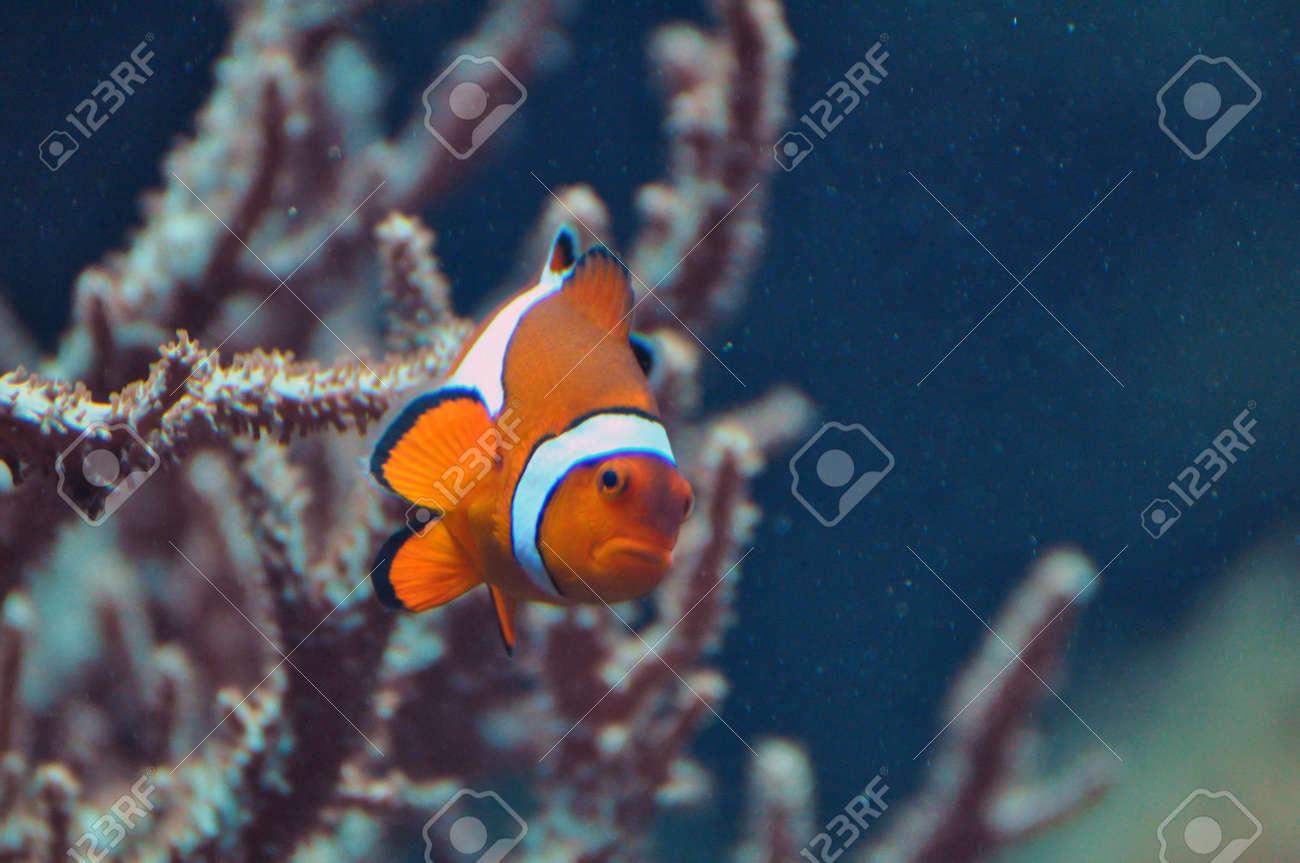 Anemone fish, clown fish Stock Photo - 18751859