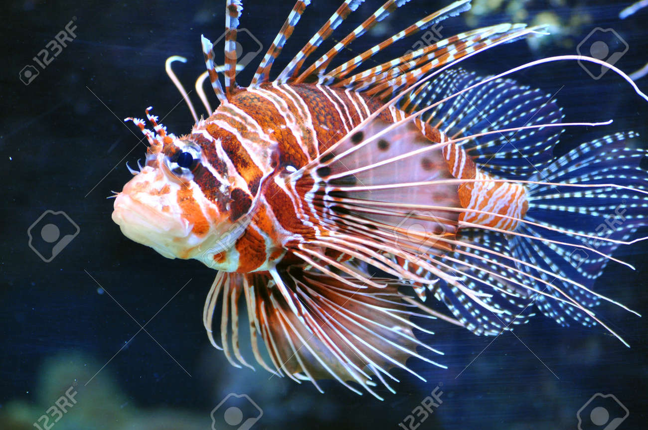 Lionfish Pteroinae, Pteroini Stock Photo - 18751886